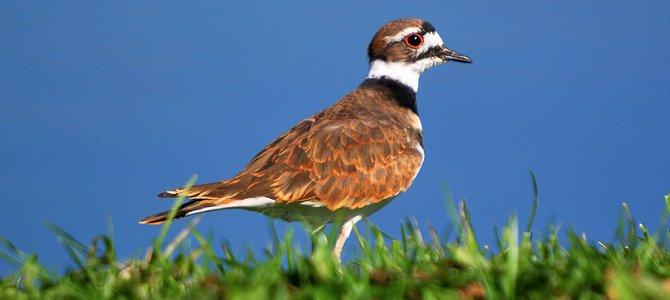 Bird of the Week: Killdeer