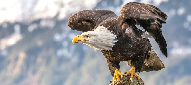 Bird of the Week: Bald Eagle