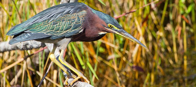 Bird of the Week: Green Heron