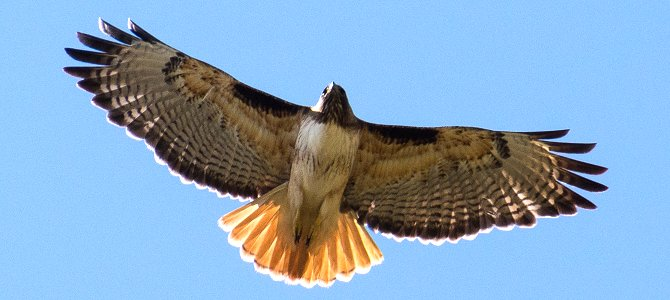 Bird of the Week: Red-Tailed Hawk