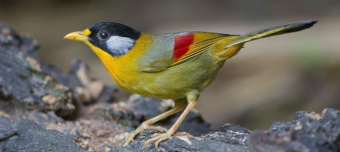 Bird of the Week: Silver-Eared Mesia