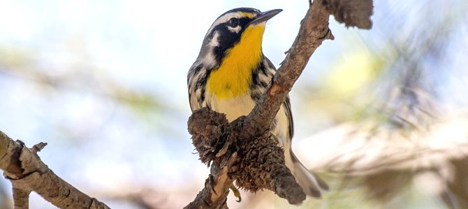 Bird of the Week: Yellow-Throated Warbler