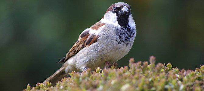 Celebrate – It's World Sparrow Day!
