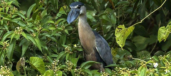 Bird of the Week: Boat-Billed Heron