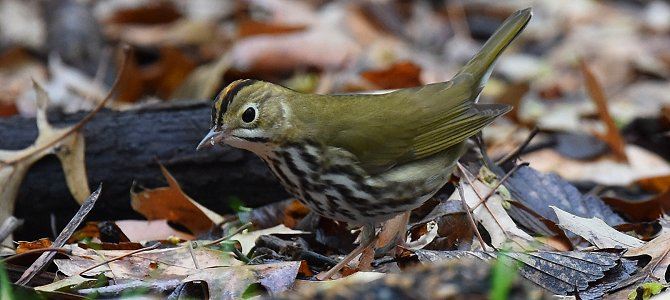 Bird of the Week: Ovenbird