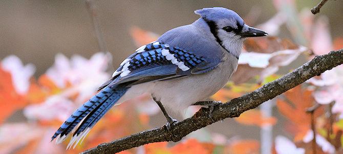 Blue Jay Photo Gallery