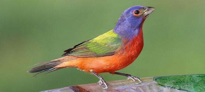 Weekly Bird: Painted Bunting