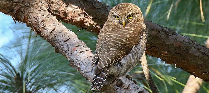 Weekly Bird: Asian Barred Owlet
