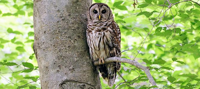 Weekly Bird: Barred Owl