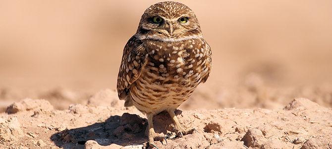 Weekly Bird: Burrowing Owl