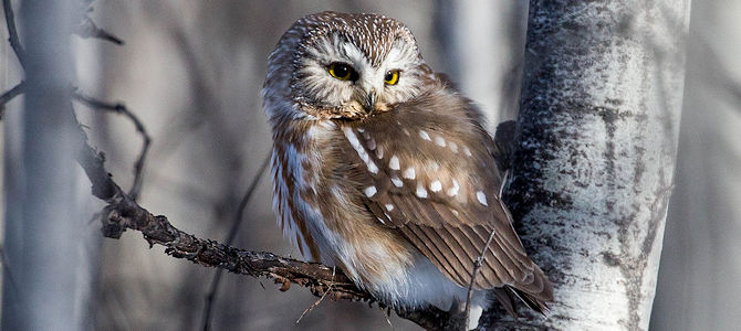 Weekly Bird: Northern Saw-Whet Owl