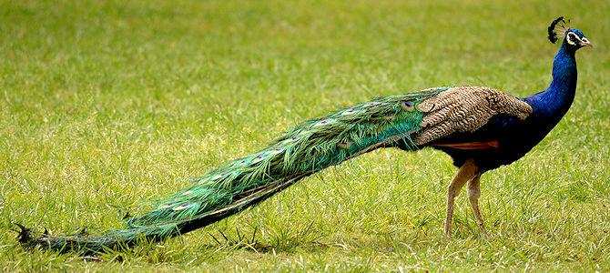Weekly Bird: Indian Peafowl