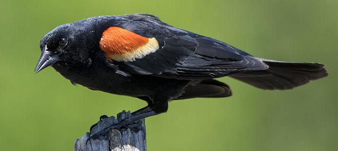 Weekly Bird: Red-Winged Blackbird