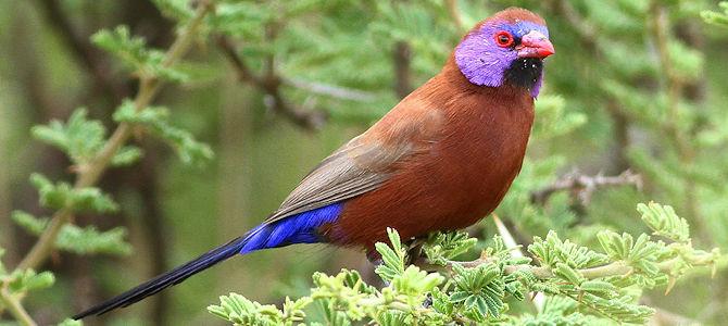 Weekly Bird: Violet-Eared Waxbill