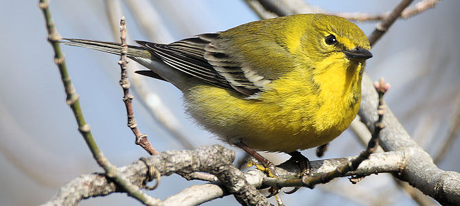The OTHER Warbler You Finally Get