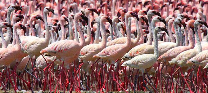 Lesser Flamingo Photo Gallery