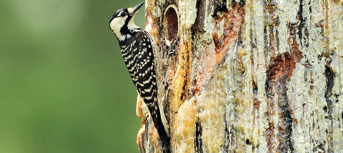 Seeing the Red-Cockaded Woodpecker