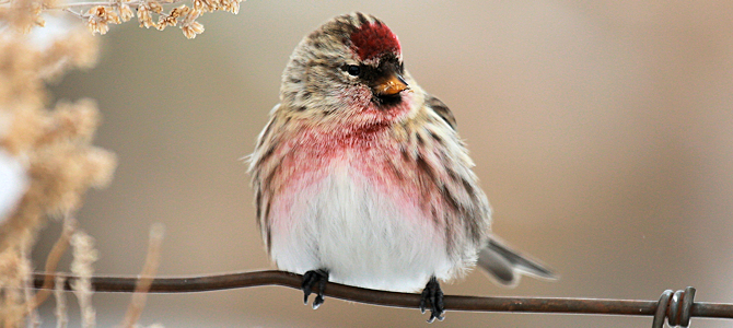 Common Redpoll Photo Gallery