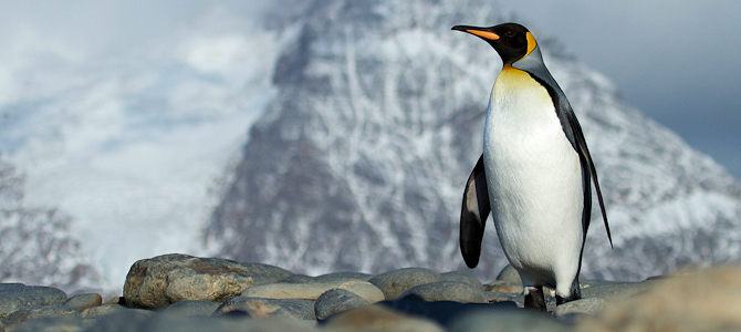 Discover the King Penguin