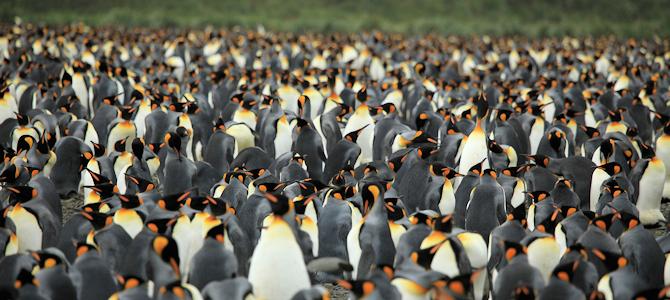 King Penguin Photo Gallery