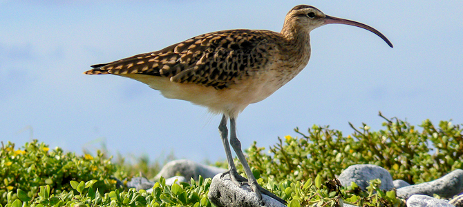 Celebrating Curlews!