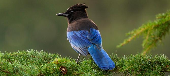 CORVID-19 – Beautiful Birds!