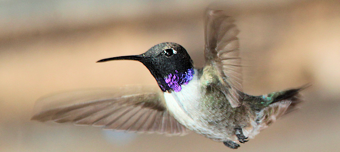 Discover the Black-Chinned Hummingbird