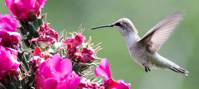 Black-Chinned Hummingbird Photo Gallery