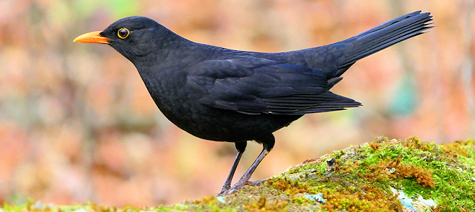 Discover the Eurasian Blackbird