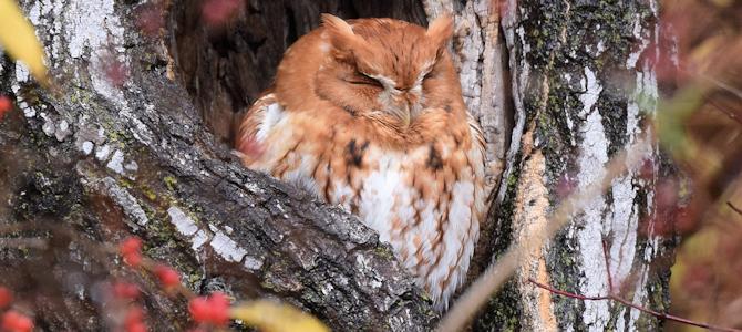 Eastern Screech-Owl Photo Gallery