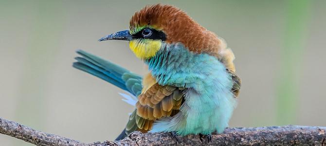 European Bee-Eater Photo Gallery