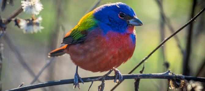 Vagrants – Why Birds Go Astray