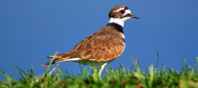 Bird of the Week: Killdeer