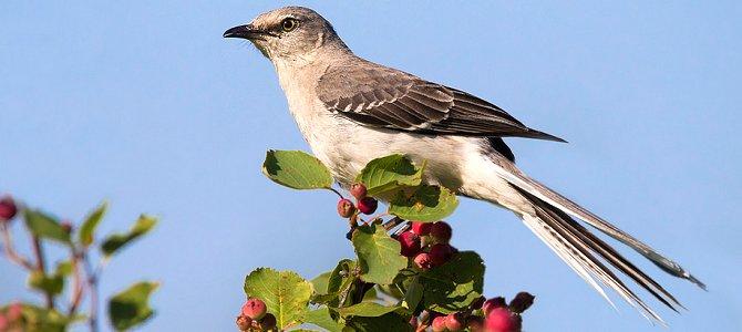 Bird of the Week: Northern Mockingbird