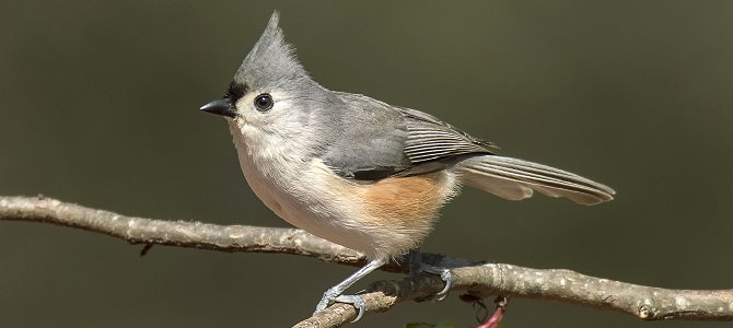 Discover the Tufted Titmouse