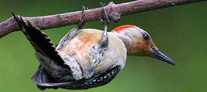 Bird of the Week: Red-Bellied Woodpecker