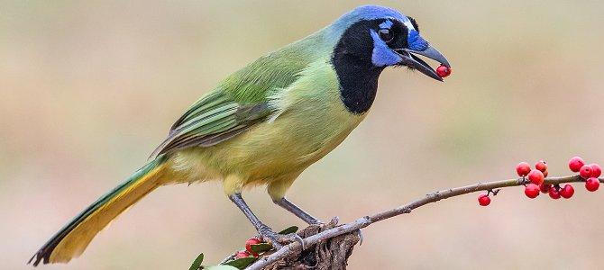 Bird of the Week: Green Jay
