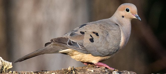 Bird of the Week: Mourning Dove
