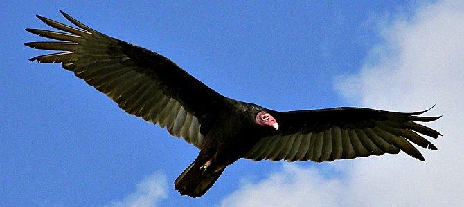 Bird of the Week: Turkey Vulture