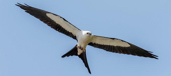 Bird of the Week: Swallow-Tailed Kite