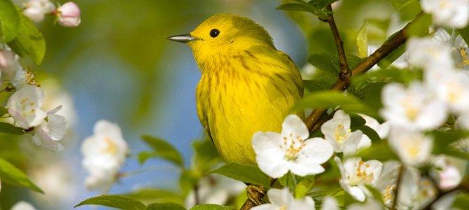 Bird of the Week: Yellow Warbler
