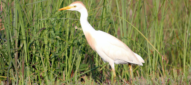 Weekly Bird: Cattle Egret
