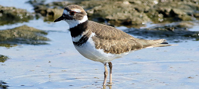 Weekly Bird: Killdeer
