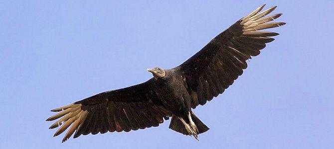 Happy International Vulture Awareness Day!