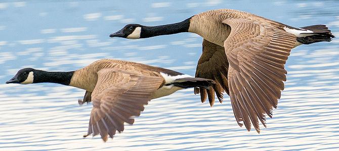 Weekly Bird: Canada Goose