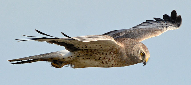 Weekly Bird: Northern Harrier