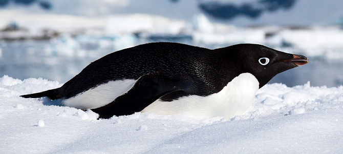 Weekly Bird: Adelie Penguin