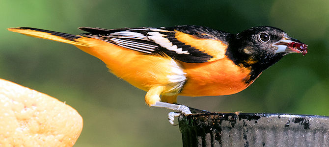 Can Birds Eat Too Much Jelly?