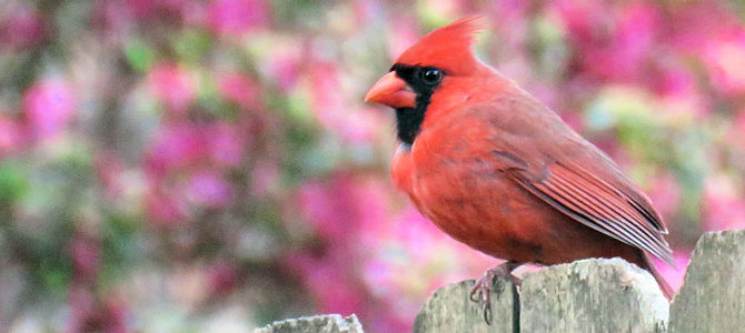 Discover the Northern Cardinal