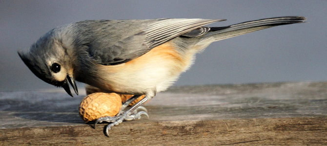 Tufted Titmouse Photo Gallery